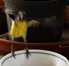 Sucrier (Desirade) Tags: bird oiseau sucrier