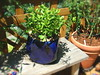 Jade Plant in Blue Pot (boisebluebird) Tags: flowers summer plants flower beauty garden design flora gardening boise patio fiore luxury gardendesign michaeltoolson boisebluebirdcom httpwwwboisebluebirdcom boiselandscaping boisegardener