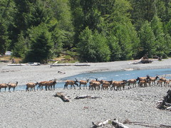 Elk herd crossing river