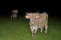 Bright by night, Queen of the darkness, Kuh mit Horn, ohne Glocke: Who took my bell?? (Polo Scher) Tags: night stars schweiz switzerland kuh cow weide nikon darkness flashlight khe d90 stareffect brownswiss swisscow