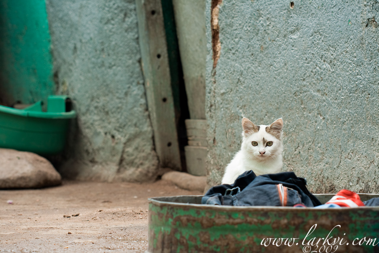 Cat #5b, Harar, Ethiopia, July 2009