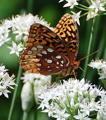 """DSC_5648 - E3  """"BUTTERFLY ON WHITE FLOWERS"""" (TongieZn5) Tags: macro butterfly pictureperfect potofgold supershot nikond40 theperfectphotographer goldstaraward"""