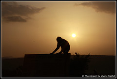 Waiting For Sunset (Vivek Dikshit) Tags: sunset india monkey sanchi langoor canon1000d vivekdikshit