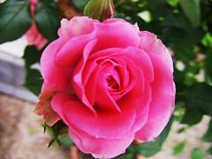 Edelrose rosa  - u1 (roba66) Tags: roses plants naturaleza flores colour macro nature rose flora blossom natur flor pflanze blumen rosen blume makro blüte farbe flori colorphotoaward flowersarebeautiful naturalezaenestadopuro blumenbäumegarten