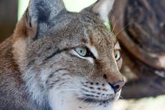 Stare of the Lynx (San Diego Shooter) Tags: zoo sandiego sandiegozoo lynx