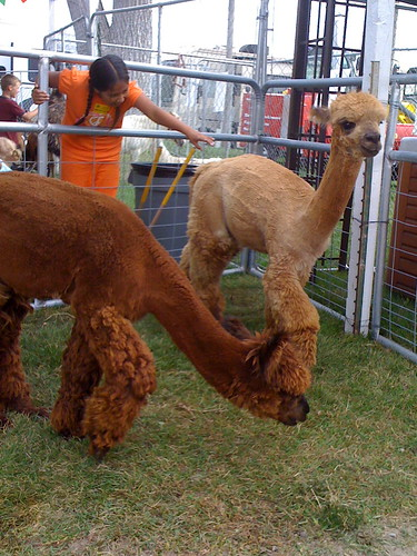 alpaca buddies (IMG_0021)