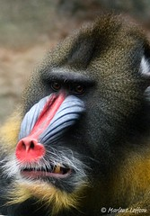Mandrill (Leffson Photography) Tags: nature zoo wildlife pittsburghzoo mandrill canon70200mmf28l allrightsreserved specanimal canonxti marleneleffson leffsonphotography marleneleffson allrightsreservedmarleneleffson