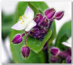 Setcreasea purpurea (in eva vae) Tags: white flower macro green leaves foglie dof bokeh violet fiori hdr purpurea miseria setcreasea tonemapping abigfave brillianteyejewel mimamorflowers gfeffe