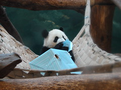 What is dis? (trumpetmom30312) Tags: giant panda lan mei lun pandas xi pandamonium