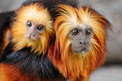 Always with mom! (Tambako the Jaguar) Tags: baby brown black cute gold zoo monkey switzerland nikon lion young mother climbing ape protective rheintal primate tamarin d300 leontopithecuschrysomelas topseven vosplusbellesphotos