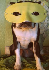 ivan in disguise (EllenJo) Tags: pets silly dogs bostonterrier mask ivan 2009 theatrical picnik digitalimage indisguise ellenjo editedwithpicnik ellenjoroberts october2009 vangoghreplica