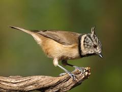 Crested Tit ( Lophophanes cristatus   ) (diegocon1964) Tags: españa jaen crestedtit andujar lophophanescristatus herrerillocapuchino