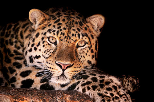 フリー画像| 動物写真| 哺乳類| ネコ科| 豹/ヒョウ|       フリー素材|