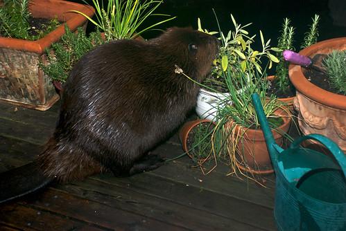 Beaver eating sage