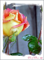 A Rose is a Rose (matlacha) Tags: pink flowers roses plants nature leaves yellow blossoms blooms thorns