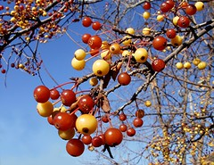 Red & Yellow (Maureclaire) Tags: november autumn red fall yellow berries bluesky updatecollection
