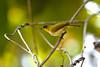 Togian White-eye Zosterops somadikartai (Bram Demeulemeester - Birdguiding Philippines) Tags: indonesia sulawesi togianislands bramdemeulemeester zosteropssomadikarta togianwhiteeye zosteropssomadikartai
