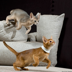 Same Target (peter_hasselbom) Tags: blue cats cat 50mm focus kitten play flash kittens litter couch sofa silla target abyssinian hunt onblack sorrel 11weeksold 2flashes cc100 2kittens aella rainbowlitter