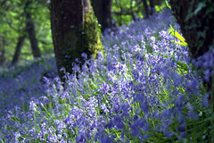 Getting closer to the bluebells (rosyrosie2009) Tags: uk flowers blue trees england nature closeup bluebells woodland photography countryside woods nikon cornwall bokeh dreamy tamron looe westcountry hyacinthoides hyacinthoidesnonscripta d5000 tamronaf70300mmf456dildmacro tamron70300mmlens nikond5000 duloewoods rosiespooner rosyrosie2009 rosemaryspooner sandplacewoods rosiespoonerphotography