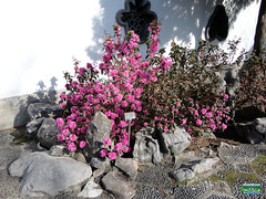 Rhododendron 'Staccato' - Ericaceae SC20110511 249 (fotoproze) Tags: canada primavera spring quebec montreal jar printemps tavasz frhling  vr jaro bahar wiosna   gwanwyn forr voorjaar jardinbotaniquedemontreal  kevt proljee 2011    montrealbotanicalgardens  vori musimbunga earrach pomlad primvar    udaberrian maxun  musimsemi