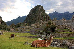 llamas of machu pichu (gruntpig) Tags: travel mountain building cute heritage history peru southamerica animal fur wonder high amazing ancient llama machupichu historic inka seven seventh iconic llamas inkas leggs thinair seventhwonder