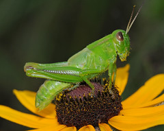 Grasshopper on Black-eyed Susan (DavidFingerhut.com) Tags: 15challengeswinner macrolife