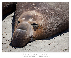 Elephant Seal (G Dan Mitchell) Tags: ocean california sea usa brown elephant beach nature nose coast eyes sand warm pacific wildlife stock sunny whiskers southern seal shore rest mammals blancas snout rookery piedras induro