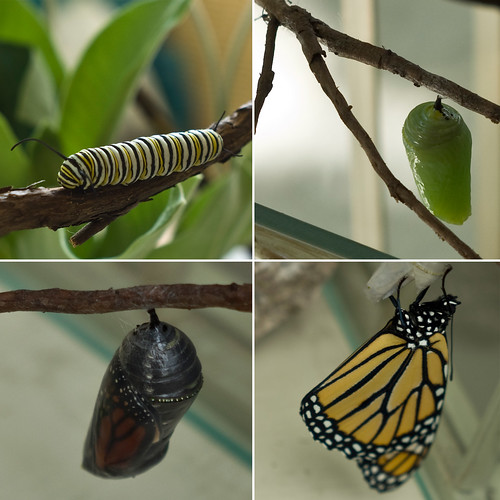 Monarch Metamorphosis (Milo)