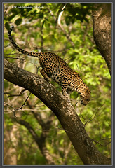 Leopard climbing down ~ Kanha Tiger Reserve, India (The Eternity Photography) Tags: india tourism nature animal forest canon mammal nationalpark asia wildlife safari leopard bigcat jungle 600 elusive 2009 sanctuary wildlifesafari digitalphotography extender gamedrive madhyapradesh kanhatigerreserve carnivora kanha badrinath 14x felidae centralindia supertelephoto tigerreserve supertele 600mm indiatourism wildlifephotography canonextenderef14xii wildindia indianwildlife kanhanationalpark incredibleindia canonllens iloveindia 14xtc savethetiger 40d canon600mm kanhawildlifesanctuary canoneos40d canon40d visitindia natureislovely indianleopard canonef600mmf4lisusm santanubanik theeternity savethewildlife flickrbigcats leopardontree pantherapardusfusca madhyapradeshtourism     leopardinthewild badrinathkanha kanhatrip centraindiaforest iloveindianwildlife    wwwfrozenforeternitycom birding600mm