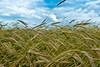 grain heading amber. (nosha) Tags: blue sky green nature beautiful beauty june clouds landscape nikon natural 28mm country grain spot mercer f56 2009 mercercounty ais lightroom blackmagic nikond200 nosha 1350sec 1350secatf56 june2009