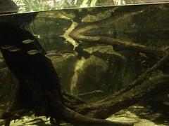 The elusive platypus (Ben Newcomer) Tags: video platypus sydneyaquarium