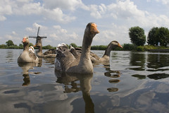 Curious Geese in Holland (dirk huijssoon) Tags: holland windmill birds geese utrecht goose anser waterland riverdelta vecht graylag grauwegans rivervecht nser ansergans