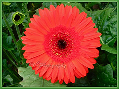Gerbera jamesonii (Barberton/Transvaal/African Daisy) - orange flowers with black central disk