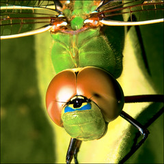 ~ DragonFly Macro / All Sizes ~ (ViaMoi) Tags: ontario canada colour detail macro green nature closeup bronze canon bug insect photography photo wings pond eyes photographer close natural image dragonfly head vibrant ottawa large insects canadian bugs karma tamron 90mm 2009 tamron90mm naturalist naturesfinest blueribbonwinner imagist 430ex digitalcameraclub macroextreme supershot ottawacanada specnature masterphotos golddragon 40d mywinners abigfave mywinnertrophy anawesomeshot specinsect canon40d naturewatcher betterthangood macrolife theperfectphotographer viamoi natureselegantshots 100commentgroup grouptripod dragondaggerphoto saariysqualitypictures winksplace greengarner