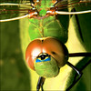 ~ DragonFly Macro / All Sizes ~ (ViaMoi) Tags: ontario canada colour detail macro green nature closeup bronze canon bug insect photography photo wings pond eyes photographer close natural image dragonfly head vibrant ottawa large insects canadian bugs karma tamron 90mm 2009 tamron90mm naturalist naturesfinest blueribbonwinner imagist 430ex digitalcameraclub macroextreme supershot ottawacanada specnature masterphotos golddragon 40d mywinners abigfave mywinnertrophy anawesomeshot specinsect canon40d naturewatcher betterthangood macrolife theperfectphotographer viamoi natureselegantshots 100commentgroup grouptripod dragondaggerphoto saariysqualitypictures winksplace greengarner