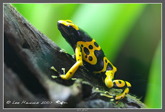 Dendrobates leucomelas (leeinhisroom) Tags: black face rain yellow forest pose eyes amazon amphibian frog jungle stare arrow poison dart ribbit herp zoology herpetology bromiliad potofgold confront dartpoison taxonomy:binomial=dendrobatesleucomelas ggazonas taxonomy:common=yellowbandedpoisondartfrog