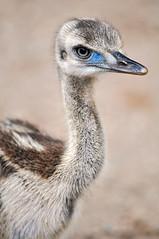 Baby emu (Tambako the Jaguar) Tags: portrait baby france bird neck zoo nikon head small australian young explore emu mammals australiananimals d300 amnville