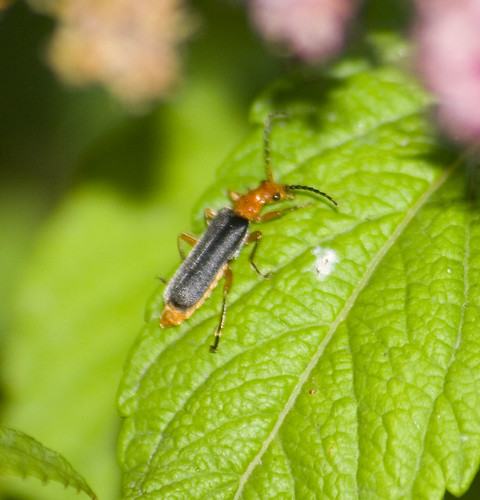 soldier beetle (1)