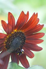 Parc Floral - Vincennes-65 (MissDogo) Tags: paris macro fleur closeup animaux parc insectes vincennes parcfloral bourdon proxyphoto hym hyménoptères hymnoptres