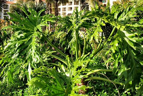 Philodendron bipinnatifidum (rq) - 03