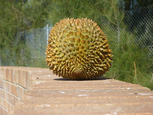 durian on our little sitting wall.