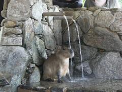 Capybara (CapybaraJP) Tags:  capybara biopark