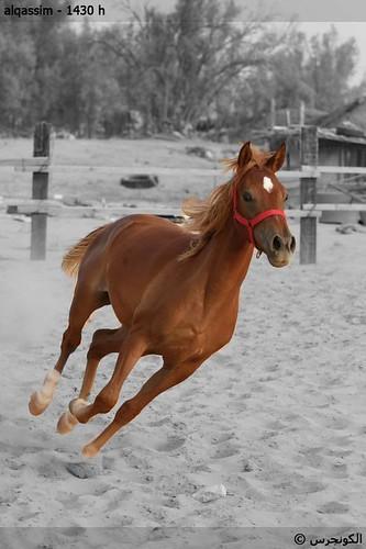 الخيول العربية الاصيلة 3942876272_d0f7018637
