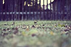 autumn (Daniel Quarg) Tags: wood autumn sunset fence germany deutschland 50mm dresden dof bokeh laub herbst wiese foliage sachsen hayfield zaun canonef50mmf14 canoneos450d