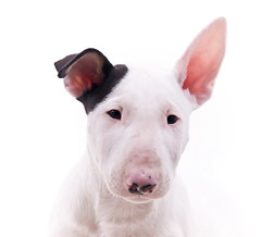 Ted (edwindejongh) Tags: pictures dog chien pets puppy hund bullterrier puppie animalphotography bulterrier sweetguy dogonwhite edwindejongh catvertise sabinevanderhelm afgegledenfeesthoedje zwarthoedje dierenmodellen animalmodellingcappcappdierenfotoscats