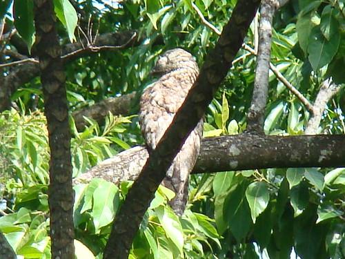 Pájaro Estaca, Nictybius grandis