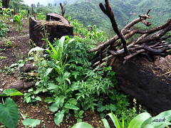 Traditional agriculture site in mizoram (azara ralte) Tags: rural weed rice paddy agriculture villagelife shiftingcultivation swidden jhum cultivaton sialsuk thingtlang jhumming zomia swidding