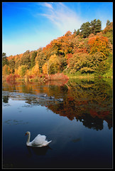 swan (mark gorman) Tags: autumn trees lake water birds golden swan autumnal cygnets