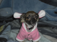 Teddy (cerberus_arstd) Tags: costumes dog chihuahua cute halloween puppy puppies chihuahuas zuzu cujo