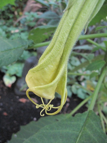 brugmansia whiskers